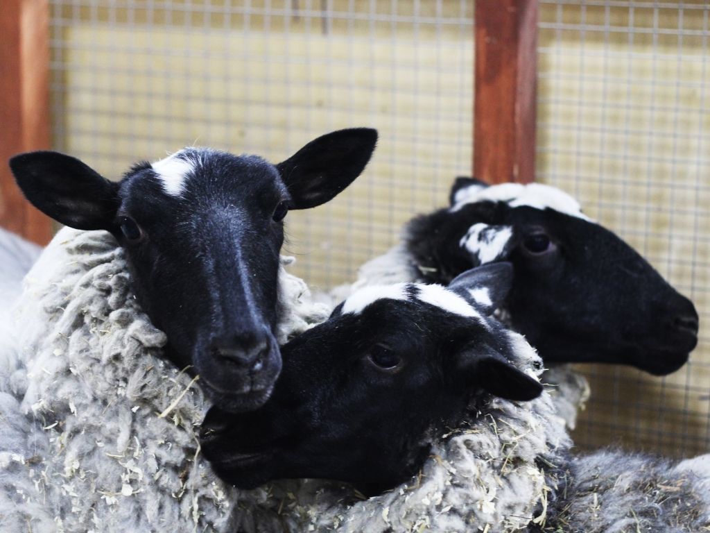 фото овечек
