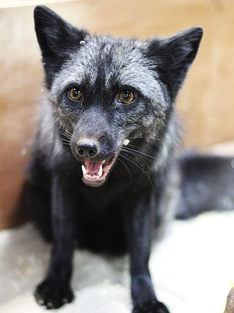 фото черная лиса