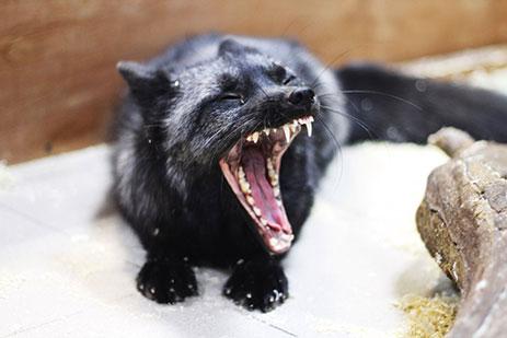 фото зевающей черной лисы