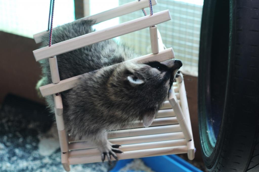 фото забавного енота