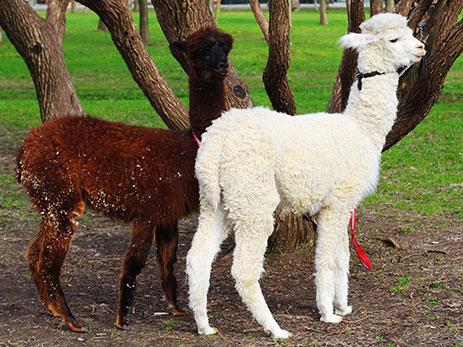 фото милые ламы