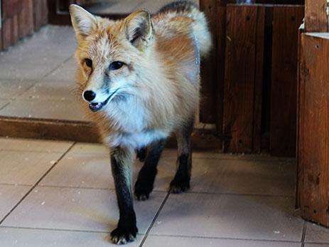 фото грациозная лиса